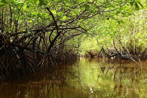 mangrove-sihanoukville